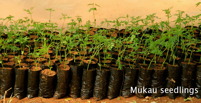 Mukau seedlings