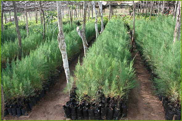 Nursery of fast growing Casuarina trees in Nyongoro - used as wind breaks for Mukau trees.