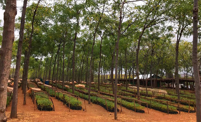 Mukau trees and seedlings at Better Globe Forestry's plantation in Kiambere, Kenya.